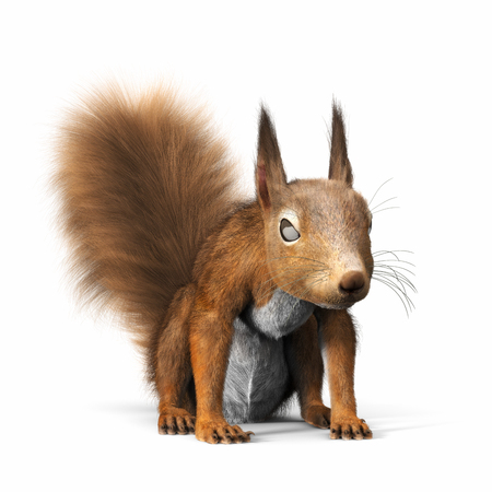 domestic: Red squirrel or Eurasian red squirrel,looking towards the camera, standing on a isolated white background. 3d rendering Stock Photo