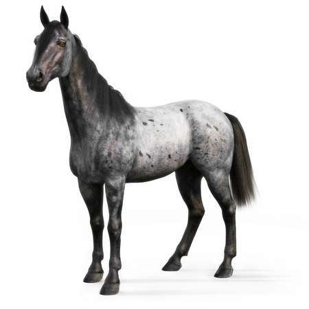 brown: Blue Roan horse on a white background. 3d rendering