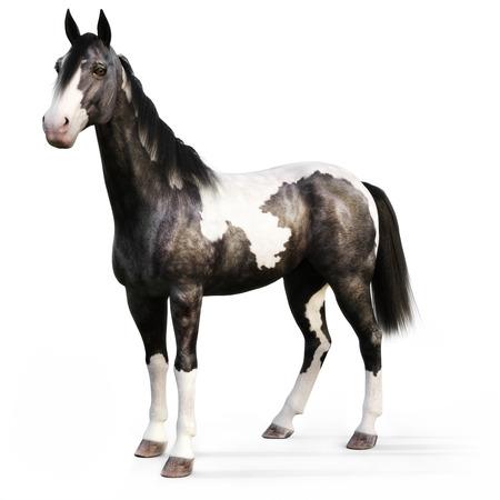 Gypsy Vanner Pferd auf einem weißen Hintergrund. 3D-Rendering