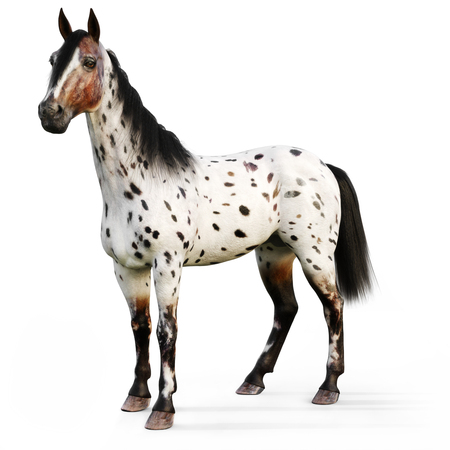Leopard Appy horse on a white background. 3d rendering