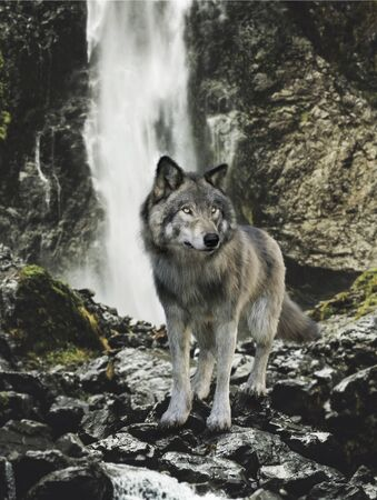 Native wild grey wolf stands on a rock outcrop surveying the land with a cascading waterfall in the background. 3d rendering