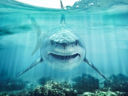 A predator great white shark swimming in the ocean coral reef shallows just below the water line closing in on its victim . 3d rendering with god rays Zdjęcie Seryjne