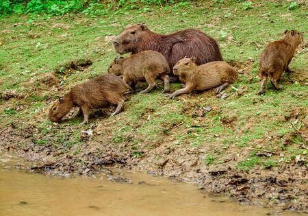 Along the river - capybara Banco de Imagens