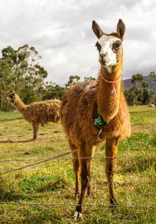 An alapaca (or possibly a llama) Stock Photo
