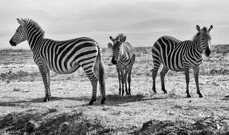 Zebra Фото со стока