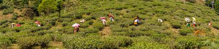 Tour of Makai Bari Tea Estate Editorial