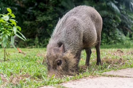 Bako National Park - Bearded Pig/Hog Imagens