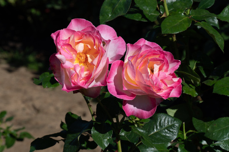 Very large Rose Garden in Portland, Oregon