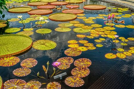 Lilly Pads and Flowers