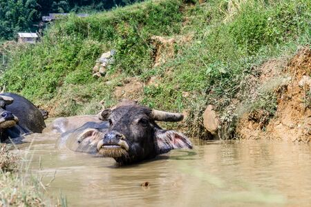 Buffalo Around Sapa, Vietnam