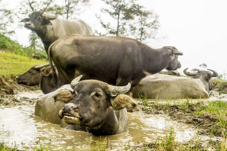 Homestay with Hmong People - water buffalo bathing Stock Photo