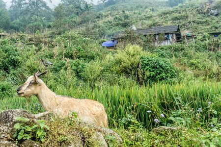 Homestay with Hmong People - goat in village