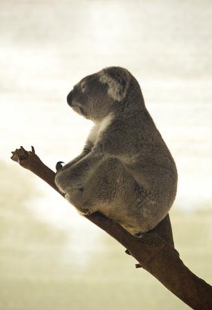 Koala in profile