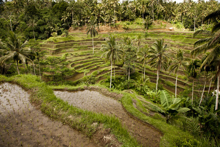 Teraced rice paddy fields in the highlands of Bali. Standard-Bild