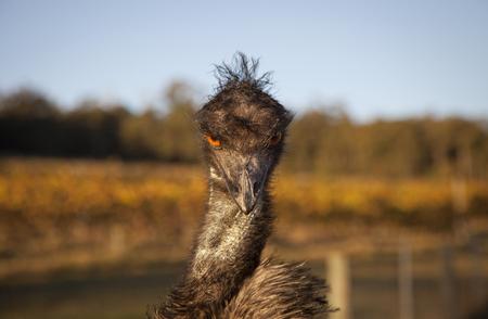 An emus glares at the camera.