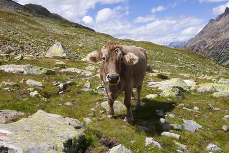 Brown Swiss cow