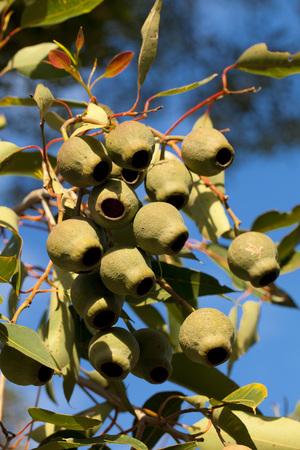 Eucalyptus gum nuts Standard-Bild