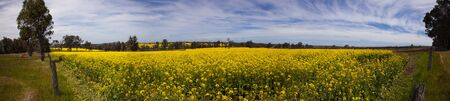 Panorama yellow canola fields.