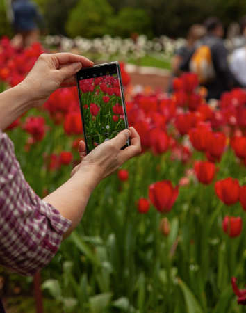 A woman takes a photo of red tulips on her phone. Standard-Bild
