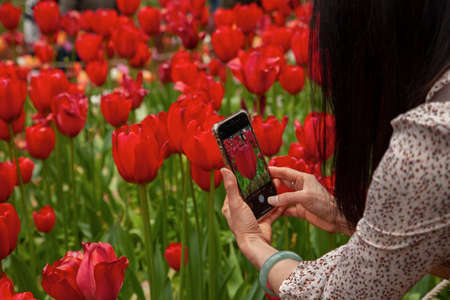 A woman takes a photo of red tulips