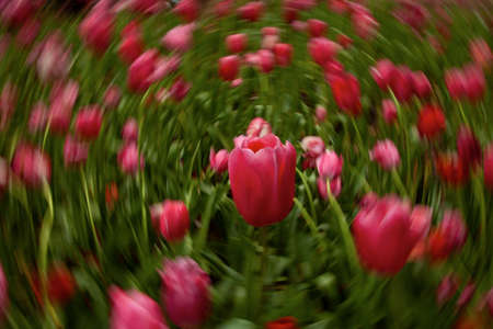 Motion blur of pink tulips.