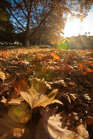 Golden sunlight on a mass of autumn leaves. Standard-Bild
