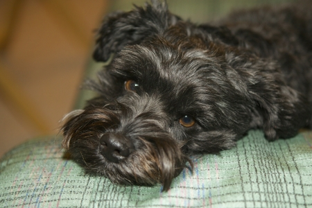 Max the schnoodle Stock Photo - 17778640