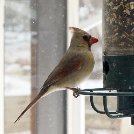 female cardinal: Female cardinal at bird feeder Stock Photo