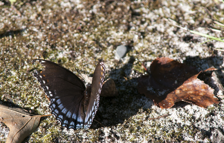 admiral: red spotted admiral butterfly with broken wing with a long shadow