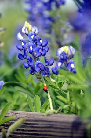 bluebonnet: Ladybug on Texas bluebonnet