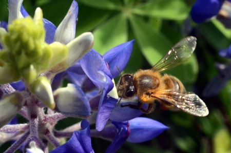 bluebonnet: Honey bee on Texas bluebonnet close-up Stock Photo
