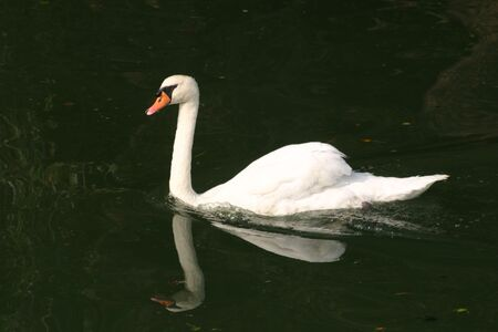 White swan with reflection in the water