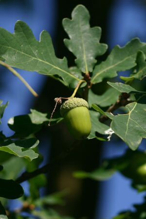 Acorn surrounded by leaves