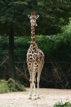 Giraffe Imagens - 256292