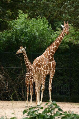 Giraffe  Archivio Fotografico - 256284