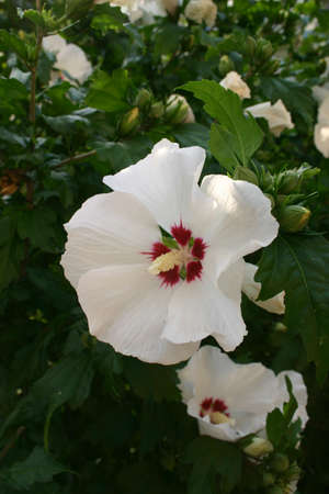 White hibiscus blossom 版權商用圖片