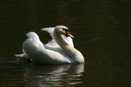 White swan swimming Reklamní fotografie