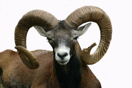 Male mountain goat, isolated