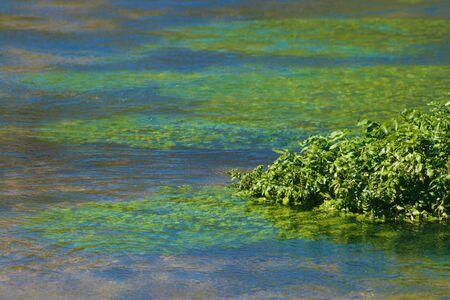 Close up di acqua crescione cresce in un fiume che scorre naturale  Archivio Fotografico - 5796335
