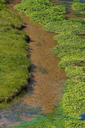 Water cress growing in the river. Green summer day