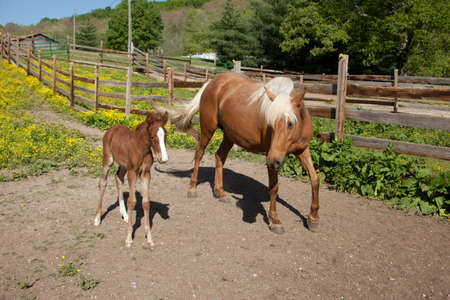 Palomino mare with foal.
