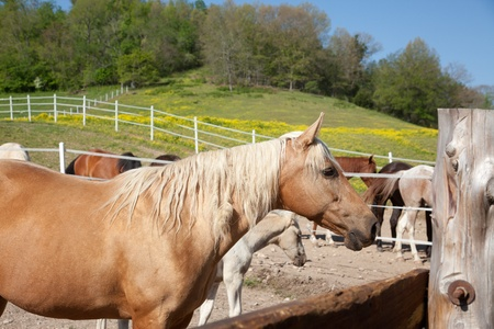 A palomino in a corral.