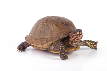 A box turtle isolated on a white background. Reklamní fotografie - 26562334