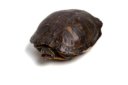 A red-eared slider isolated on a white background with its mouth open.