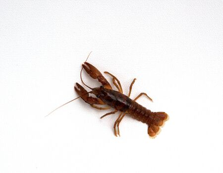 A crayfish isolated on a white background. Stock Photo