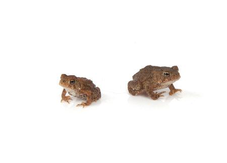 白い背景に分離された 2 つの小さなカエル。 写真素材