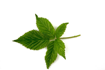 A leaf isolated on a white background..