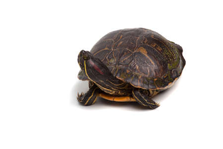 A turtle isolated on a white background. Stock Photo