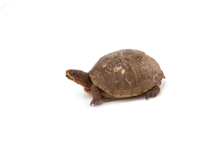 A box turtle isolated on a white background.
