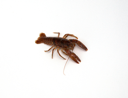 A crawfish isolated on a white background.